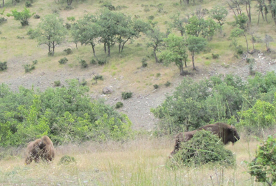 Зубрите в Източните Родопи са вече в по-голямо заграждение