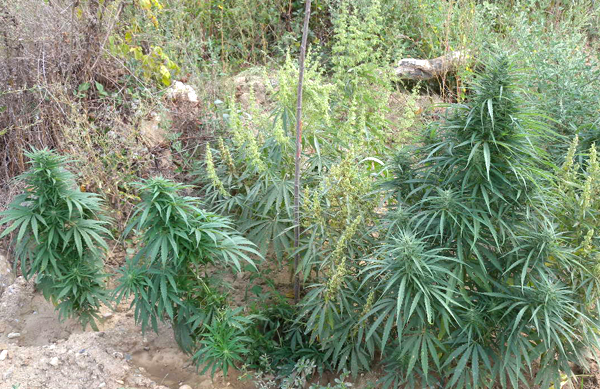 Откриха нива с канабис в землището на село Островец
