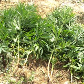 Накотичните растения са изкоренени и иззети.