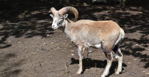 """Болестта """"син език"""" причини масова смърт на муфлони в ловно стопанство """"Женда"""", което се слави с най-добрата популация в България."""