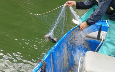 Уловеният с бракониерската мрежа шаран е върнат обратно във водата