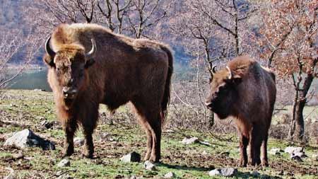 Зубри живеят вече една година в Източните Родопи