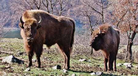 Вече година зубрите живеят в Източните Родопи