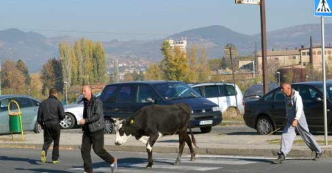 Айдън Юсеин често пуска кравите си да пасат без надзор, което му носи главоболия с полицията в Кърджали